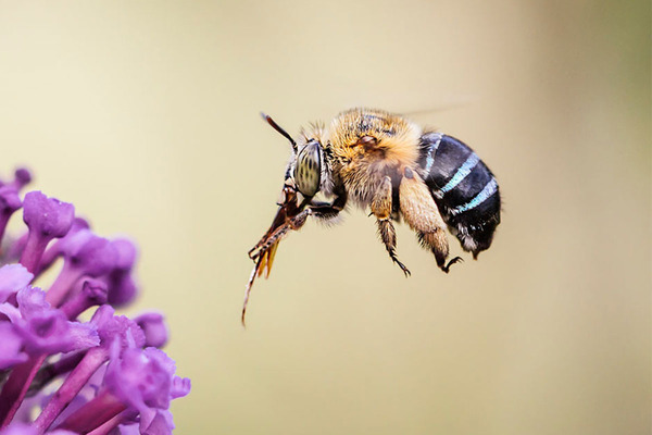 BLUE BANDED BEE FUNDRAISER